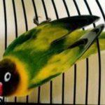 Kumpulan Gambar Burung Lovebird Green Series Terbaru Beserta Suara Gacor Atau Ngekek Durasi Panjang Mp3 Dan Harga Termahalnya