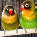 Kumpulan Gambar Burung Lovebird Holland Belgia Terbaru Beserta Suara Gacor Atau Ngekek Durasi Panjang Mp3 Dan Harga Termahalnya