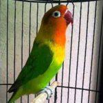 Kumpulan Gambar Burung Lovebird Josan Atau Ijo Standar Betina Terbaru Beserta Suara Gacor Atau Ngekek Durasi Panjang Mp3 Dan Harga Termahalnya