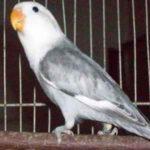 Kumpulan Gambar Burung Lovebird Kepala Elang Abu Abu Terbaru Beserta Suara Gacor Atau Ngekek Durasi Panjang Mp3 Dan Harga Termahalnya