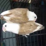 Kumpulan Gambar Burung Lovebird Kepala Elang Coklat Terbaru Beserta Suara Gacor Atau Ngekek Durasi Panjang Mp3 Dan Harga Termahalnya
