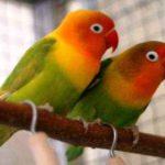 Kumpulan Gambar Burung Lovebird Kepala Emas Terbaru Beserta Suara Gacor Atau Ngekek Durasi Panjang Mp3 Dan Harga Termahalnya