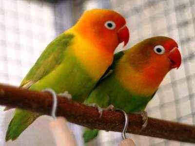 Kumpulan Aneka Koleksi Suara Gambar Burung Lovebird Kepala Emas atau Palamas MP3 Beserta Harga Termahalnya