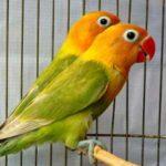Kumpulan Gambar Burung Lovebird Lutino Blorok Terbaru Beserta Suara Gacor Atau Ngekek Durasi Panjang Mp3 Dan Harga Termahalnya