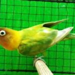 Kumpulan Gambar Burung Lovebird Palamas Atau Kepala Emas Ijo Terbaru Beserta Suara Gacor Atau Ngekek Durasi Panjang Mp3 Dan Harga Termahalnya