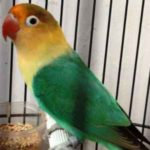 Kumpulan Gambar Burung Lovebird Parblue Standar Hijau Terbaru Beserta Suara Gacor Atau Ngekek Durasi Panjang Mp3 Dan Harga Termahalnya