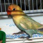 Kumpulan Gambar Burung Lovebird Parblue Standar Pastel Terbaru Beserta Suara Gacor Atau Ngekek Durasi Panjang Mp3 Dan Harga Termahalnya