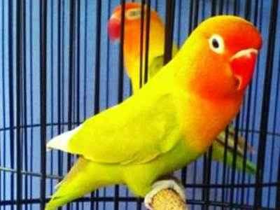 Kumpulan Aneka Koleksi Suara Gambar Burung Lovebird Lovebird Pasjo atau Pastel Ijo Dark Green MP3 Beserta Harga Termahalnya
