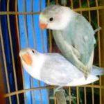 Kumpulan Gambar Burung Lovebird Pastel Biru Atau Pasru Abu Abu Terbaru Beserta Suara Gacor Atau Ngekek Durasi Panjang Mp3 Dan Harga Termahalnya