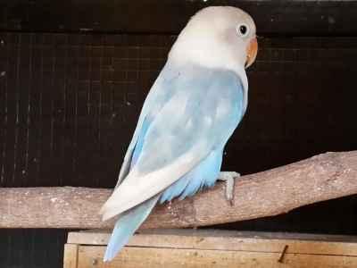 Kumpulan Aneka Koleksi Suara Gambar Burung Burung Lovebird Pastel Biru Atau Pasru Cobalt Blorok Biola Kotor Dan Bersih MP3 Beserta Harga Termahalnya