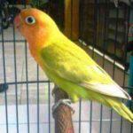 Kumpulan Gambar Burung Lovebird Pastel Ijo Atau Pasjo Palamas Terbaru Beserta Suara Gacor Atau Ngekek Durasi Panjang Mp3 Dan Harga Termahalnya
