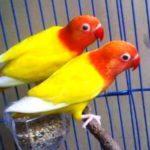 Kumpulan Gambar Burung Lovebird Pastel Kuning Atau Paskun Bersih Terbaru Beserta Suara Gacor Atau Ngekek Durasi Panjang Mp3 Dan Harga Termahalnya