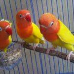 Kumpulan Gambar Burung Lovebird Pastel Kuning Atau Paskun Kotor Terbaru Beserta Suara Gacor Atau Ngekek Durasi Panjang Mp3 Dan Harga Termahalnya