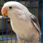 Kumpulan Gambar Burung Lovebird Pastel Putih Kepala Elang Terbaru Beserta Suara Gacor Atau Ngekek Durasi Panjang Mp3 Dan Harga Termahalnya