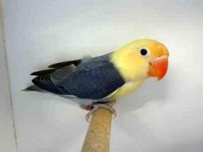 Kumpulan Aneka Koleksi Suara Gambar Burung Lovebird Parblue Standar Hijau Pastel Blorok Sable Head Personata Ficheri MP3 Beserta Harga Termahalnya