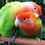 Kumpulan Gambar Burung Lovebird Salem Biola Dakocan Atau Dakori Terbaru Beserta Suara Gacor Atau Ngekek Durasi Panjang Mp3 Dan Harga Termahalnya
