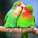 Kumpulan Gambar Burung Lovebird Salem Josan Pastel Ijo Atau Pasjo Terbaru Beserta Suara Gacor Atau Ngekek Durasi Panjang Mp3 Dan Harga Termahalnya
