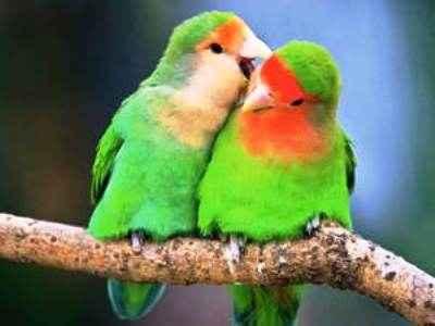 Kumpulan Aneka Koleksi Suara Gambar Burung Burung Lovebird Muka Salem Josan Blorok Pastel Ijo Atau Kuning Lutino MP3 Beserta Harga Termahalnya