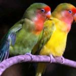 Kumpulan Gambar Burung Lovebird Salem Blorok Terbaru Beserta Suara Gacor Atau Ngekek Durasi Panjang Mp3 Dan Harga Termahalnya