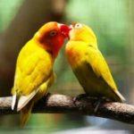 Kumpulan Aneka Gambar Cara Mengatasi Lovebird Lutino Jantan Atau Betina Over Birahi Terbaru Beserta Suara Gacor Atau Ngekek Durasi Panjang Mp3 Dan Harga Termahalnya
