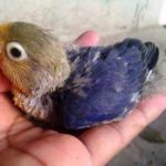 Beragam Kumpulan Aneka Jenis Pakan Atau Makanan Beserta Gambar Anakan Lovebird Parblue Umur 3 Bulan Keatas Yang Lucu Serta Gacor Maupun Ngekek Panjang