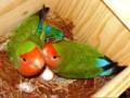 Jenis Makanan Peningkat Birahi Lovebird Agar Cepat Bertelur