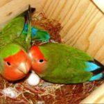 Kumpulan Aneka Gambar Serta Video Beragam Jenis Makanan Peningkat Birahi Lovebird Agar Cepat Bertelur Terbaru Dan Terlengkap