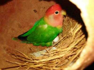 Koleksi Aneka Gambar Dan Kumpulan Beragam Jenis Makanan Terbaik Untuk ndukan Burung Lovebird Saat Mengerami Telurnya Hingga Menetas