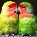 Kumpulan Beragam Gambar Cara Mengatasi Lovebird Muka Salem Pasjo Paskun Jantan Atau Betina Over Birahi Tinggi Di Tangkringan Terbaru Beserta Suara Gacor Atau Ngekek Durasi Panjang Mp3 Dan Harga Termahalnya