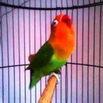Kumpulan Gambar Cara Memaster Lovebird Josan Terbaru Beserta Suara Gacor Atau Ngekek Durasi Panjang Mp3 Dan Harga Termahalnya