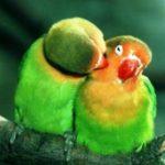 Kumpulan Gambar Cara Mengatasi Lovebird Josan Jantan Atau Betina Over Birahi Di Tangkringan Terbaru Beserta Suara Gacor Atau Ngekek Durasi Panjang Mp3 Dan Harga Termahalnya