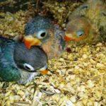 Kumpulan Pakan Atau Makanan Beserta Gambar Anakan Lovebird Dakocan Umur 2-3 Bulan Keatas Yang Lucu Serta Gacor Maupun Ngekek Panjang