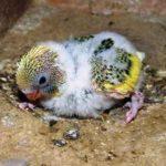 Beragam Aneka Jenis Makanan Atau Pakan Beserta Gambar Anakan Lovebird Holand Blorok Dakocan Parblue Umur 1 Bulan Kebawah Yang Lucu Serta Gacor Maupun Ngekek Panjang