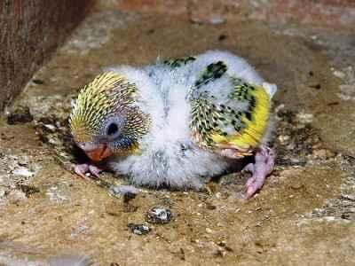makanan meloloh anakan lovebird
