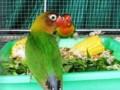 Makanan Harian Kesukaan Burung Lovebird Yang Bernutrisi Tinggi