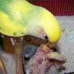 Kumpulan Beragam Gambar Dan Koleksi Aneka Video Cara Indukan Burung Lovebird Saat Meloloh Atau Memberi Makan Anaknya Terbaru