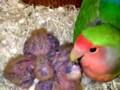 Makanan Terbaik Untuk Indukan Lovebird Saat Meloloh Anaknya
