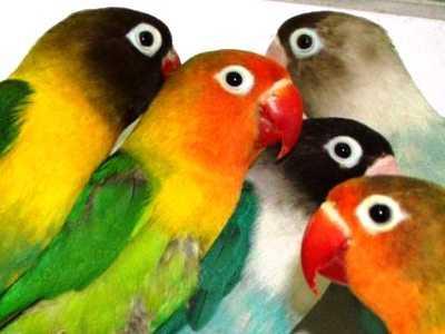 Koleksi Beragam Video Maupun Aneka Kumpulan Pembagian Warna Dasar Burung Lovebird Terbaru Beserta Variasi Warna Dan Harga Terbarunya
