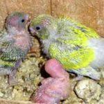 Kumpulan Pakan Atau Makanan Beserta Gambar Anakan Lovebird Paskun Pastel Kuning Umur 2 Bulan Kebawah Yang Lucu Serta Gacor Maupun Ngekek Panjang
