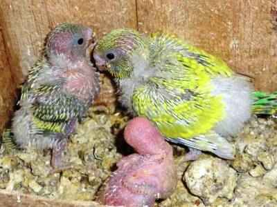 Download 95+ Gambar Burung Lovebird Umur 1 Bulan Terbaru Gratis