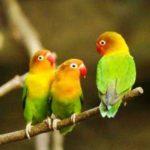 Kumpulan Beragam Video Dan Gambar Tips Perawatan Harian Atau Cara Merawat Burung Lovebird Kusumo Agar Bisa Gacor Maupun Ngekek Panjang Saat Lomba