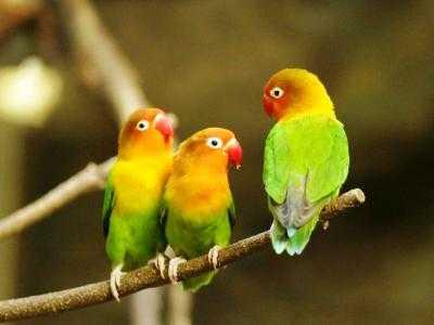 perawatan harian burung lovebird lomba ala lovebird kusumo
