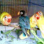 Kumpulan Gambar Ritual Cara Memandikan Burung Lovebird Terbaru Beserta Suara Gacor Atau Ngekek Durasi Panjang Mp3 Dan Harga Termahalnya