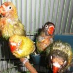 Kumpulan Aneka Gambar Beserta Video Cara Memilih Anakan Lovebird Yang Memiliki Suara Gacor Dan Ngekek Durasi Panjang Terbaru