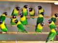 Cara Beternak Burung Lovebird Agar Cepat Bertelur Untuk Pemula
