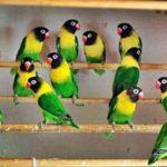 Beragam Kumpulan Video Beserta Panduan Gambar Cara Beternak Burung Lovebird Agar Cepat Bertelur Terbaru Khusus Untuk Para Pemula