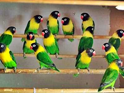 cara merawat burung but but cara merawat