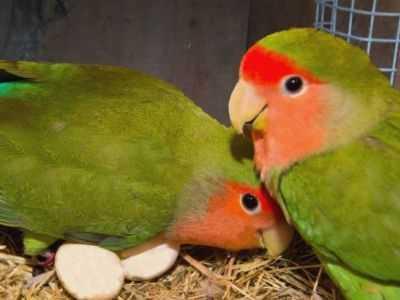 Kumpulan Aneka Video Serta Koleksi Panduan Gambar Cara Mengatasi Indukan Lovebird Yang Macet Bertelur Atau Produksi Terbaru Beserta Harga Terbarunya