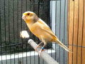 Mengenal Ciri Burung Kenari AF Beserta Gambar Dan Harga Terbarunya