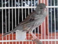 Mengenal Ciri Burung Kenari Starblue Beserta Harga Terbarunya